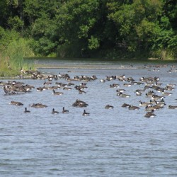 Aroostook Birders find silver lining in polluted water