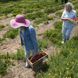 """Sally """"Princess"""" Page (left) and her mother, Karen Walker, of Veazie pick strawberries at Adams Strawberry Acres in Corinth on June 26."""