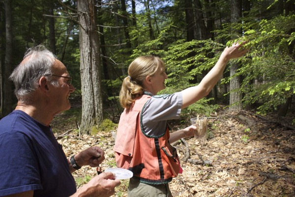 Maine state forest entomologist Allison Kanoti places predatory lady beetles on a hemlock tree in a private woodlot in Woolrich on June 5, 2015, with landowner Paul Dumdey. The beetle preys on hemlock woolly adelgid, an invasive insect that damages hemlock trees.