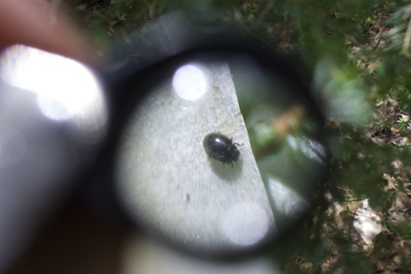 A state entomologist takes a closer look at a predatory lady beetle used to combat an invasive insect called hemlock woolly adelgid. Thousands of these beetles were released on a private woodlot in Woolwich on June 5, 2015.