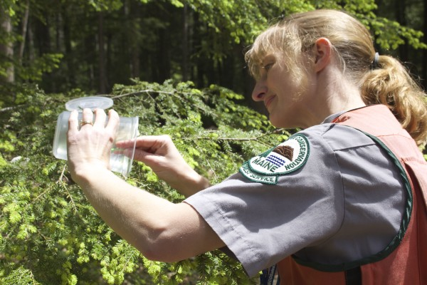 Maine state forest entomologist Allison Kanoti places predatory lady beetles on a hemlock tree in a private woodlot in Woolrich on June 5, 2015. The beetle preys on hemlock woolly adelgid, an invasive insect that damages hemlock trees.