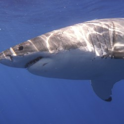 Experts expect great white shark sightings to increase off Maine coast