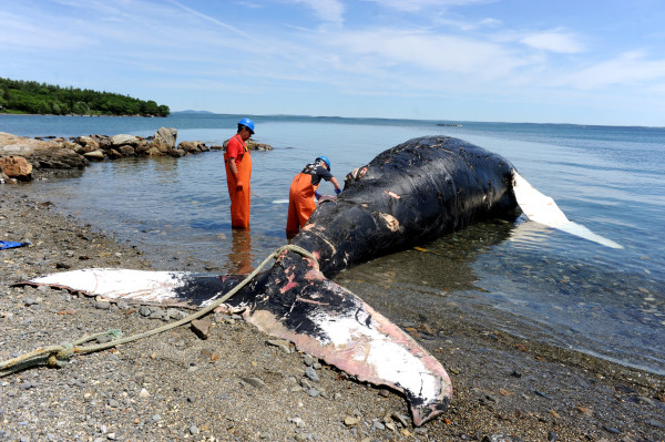 Spinnaker, an 11-year-old humpback whale who died several days ago, was brought to shore on Monday in Hulls Cove for a necropsy to help determine her cause of death.