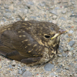 A baby Swainson's Thrush in Baxter State Park.