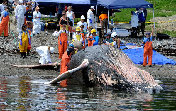Spinnaker, an 11-year-old humpback whale who died several days ago, was brought to shore on Monday in Hulls Cove for a necropsy to help determine her cause of death. Spinnnaker was found on Thursday off Great Head on Mount Desert Island.