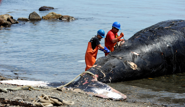 Dan DenDanto (right), necropsy team leader and research associate with Allied Whale, and Courtney Vashro of Allied Whale begin the necropsy on Spinnaker, an 11-year-old humpback whale who died several days ago, on Monday in Hulls Cove.