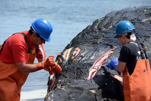 Dan DenDanto (left), necropsy team leader and research associate with Allied Whale, and Courtney Vashro of Allied Whale begin the necropsy on Spinnaker, an 11-year-old humpback whale who died several days ago, on Monday in Hulls Cove.