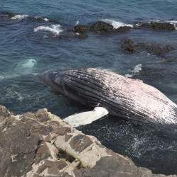 Dead humpback whale washes up on Little Cranberry Island