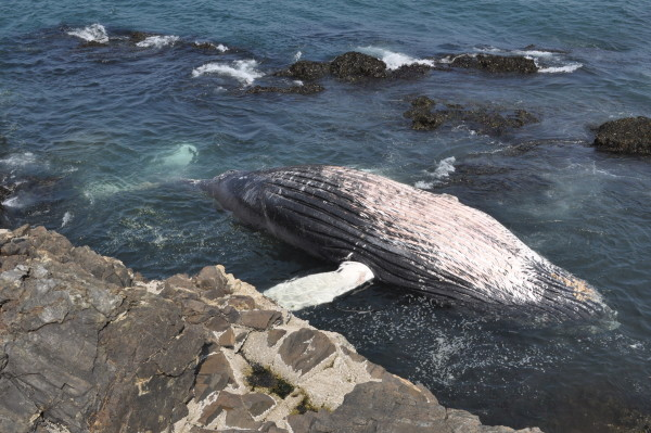 A dead humpback whale identified by researchers as Spinnaker floats off Great Head on Mount Desert Island on Thursday.
