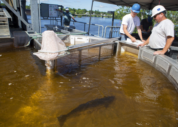 John Carlucci (left) and Mitch Simpson, biologist, move an Atlantic salmon to a holding tank to take samples at the Milford Dam fishway at Brookfield Energy in Milford Wednesday. After more than three decades capturing Atlantic salmon at the Veazie Dam, that operation has moved to Milford, where a new fishlift was unveiled in 2014.