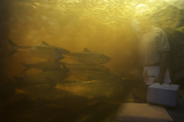 River herring are seen through a viewing window at the Milford Dam fishway at Brookfield Energy in Milfrod Wednesday. After more than three decades capturing Atlantic salmon at the Veazie Dam, that operation has moved to Milford, where a new fishlift was unveiled in 2014.