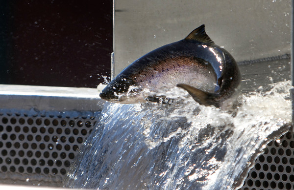 An Atlantic salmon makes its way to a holding tank at the Milford Dam fishway at Brookfield Energy in Milford Wednesday. After more than three decades capturing Atlantic salmon at the Veazie Dam, that operation has moved to Milford, where a new fishlift was unveiled in 2014.