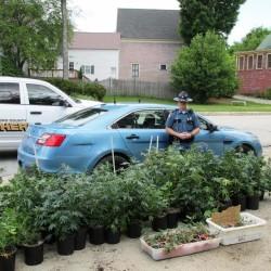 $250,000 worth of marijuana plants found in Maine