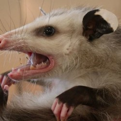 Maine's marsupials: Opossums continue to move north