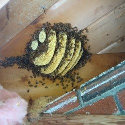 Emergence of bee swarms are a sign of summer
