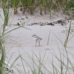 Piping plovers on the beach