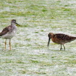 Everything is a semipalmated sandpiper, unless it isn't