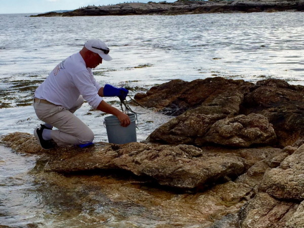 Lighthouse keeper Mark Zinkiewicz harvests seaweed for the night's lobster bake.