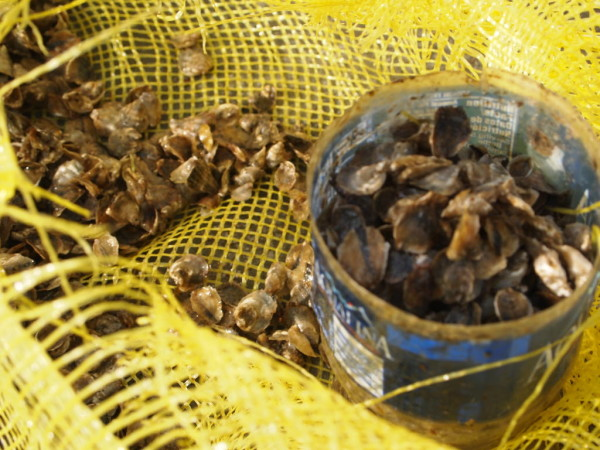 Some quick math and an empty water bottle provided a handy scoop to measure 1,000 oyster seeds into each oyster bag on a work boat off Snow Island.