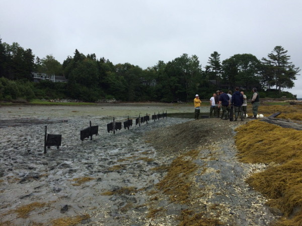 Volunteers gather near a line of flipbags full of baby oysters off Mere Point.