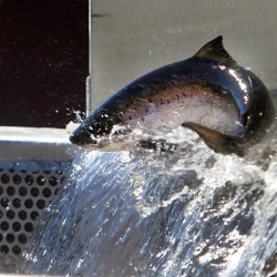After first-year tinkering, Milford fish lift paying dividends
