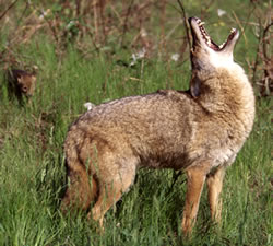 Sportsman's Alliance of Maine director says he's seen coyotes here hunt in packs