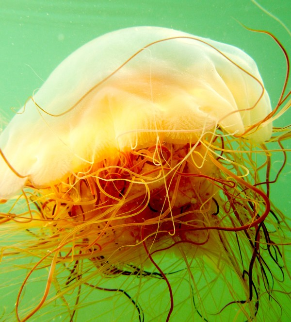 Jellyfish jamboree on Maine's coast back for second summer — State
