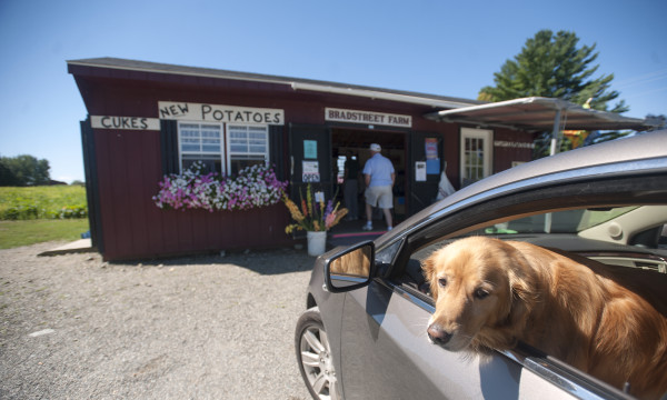 Annie, a 4-year-old golden retriever, waits in the car while her owner, Arey Bryant of Pittsfield, buys corn at the Bradstreet Farm stand in Newport. &quotThey have the best corn in the state,&quot Bryant said with a smile.