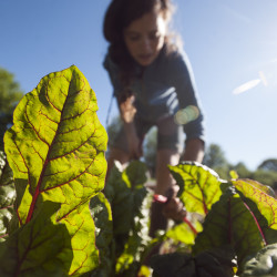 Fall work can keep tomato plants disease-free