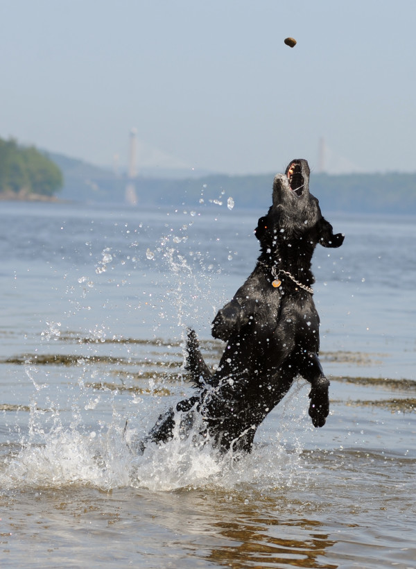 Max, a black Lab from Plymouth, hit the beach to cool off with owner Parrie Eager, who threw  small rocks for Max to catch in the water.