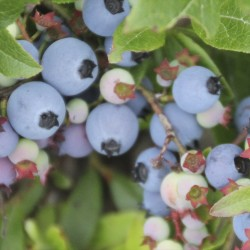 Above-average blueberry harvest expected after heavy rains