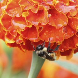 Midcoast Maine among last strongholds for newly protected bumblebee species