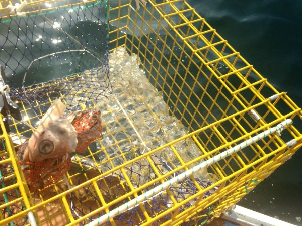 One place white-cross jellyfish have been showing up this summer is along the shore in the Boothbay region, often on or in fishermen's lobster gear, according to Nick Record of Bigelow Laboratory for Ocean Sciences.