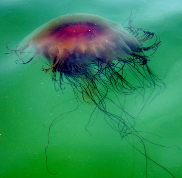 This lion's mane jellyfish was spotted in Spruce Creek in Kittery earlier this summer. According to Nick Record of Bigelow Laboratory for Ocean Sciences, some Mainers have reported seeing dozens to hundreds of lion's mane jellyfish at a time this summer in Kittery and Surry.