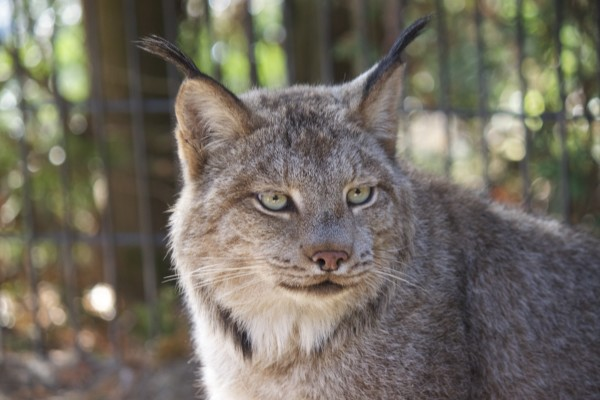 Wildlife groups sue to protect Canada lynx in Maine — Outdoors — Bangor Daily News — BDN Maine