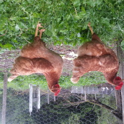 Chicken coup?