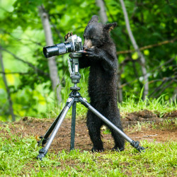 A curious bear cub examines the features of Paul Cyr's old film camera at his farm in Presque Isle.