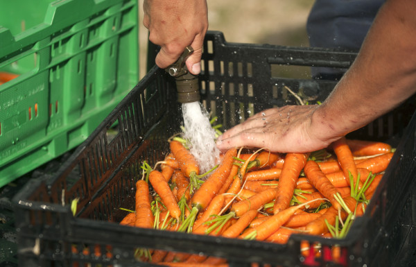 Tom Wolf a farm apprentice from New Orleans, Louisiana washes carrots at the Four Season Farm in Brooksville.