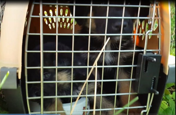 A crate with three stolen German shepherd puppies inside was recovered Wednesday morning in Thomaston.