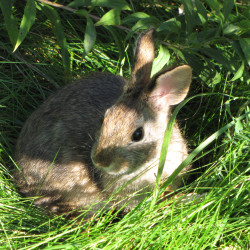 Maine landowners work to save endangered cottontails
