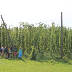 Growing hops in Maine? Volunteers hand-pick crop in Aroostook County