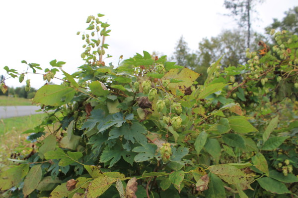 Semi-wild hops are seen growing on Sept. 14 in Mapleton.