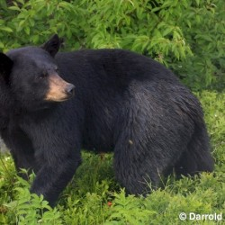 Black bears spotted in Bangor area, game warden says