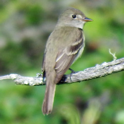 Willow and Alder Flycatchers nest in Bangor, and they cannot be told apart visually. But they sound different.