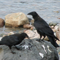 Two common ravens