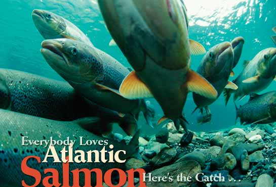 Smolts abound: Making Atlantic salmon spawn in upstream habitat paying dividends