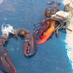 Half-red lobster discovered in Maine described as 1-in-50 million rarity