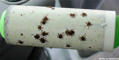 Tick experts urge vigilance in watching for the disease-carrying pests this fall