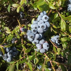 Wild blueberries named 'crown jewels' of healthful foods