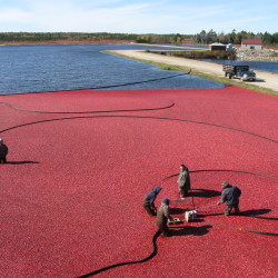 Cranberry harvest gets under way in Washington County
